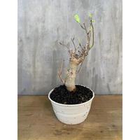 バオバブ アダンソニア ディギタータ  塊根植物 コーデックス