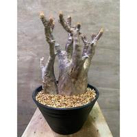 パキポディウム グラキリス 2ヘッド 737 塊根植物 コーデックス 現地球  発送着払い