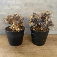 オトンナ ユーフォルビオイデス 現地新着株 塊根植物 コーデックス 冬型植物