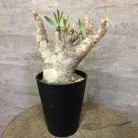 パキポディウム イノピナーツム 35 塊根植物 コーデックス 現地球