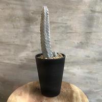 ユーフォルビア アブデルクリ 1 塊根植物 コーデックス