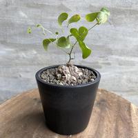ディオスコレア エレファンティペス 亀甲竜  実生株 塊根植物 コーデックス  送料着払い