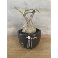 パキホディウム グラキリス valiem 塊根植物  コーデックス マダガスカル 現地球