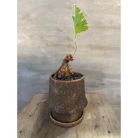 ペラルゴニウム ロバツム 多肉植物 塊根植物 コーデックス 南アフリカ