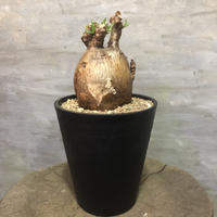 パキポディウム  ビスピノーサム 現地球 塊根植物 コーデックス  5