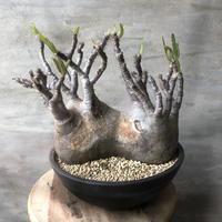 パキポディウム グラキリス 2分頭 521 多肉植物 塊根植物 コーデックス マダガスカル現地株