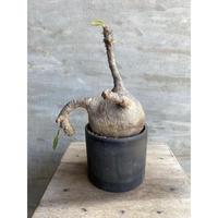 パキポディウム グラキリス  675 塊根植物 コーデックス 現地球 発送着払い