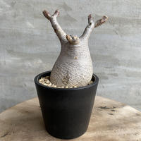 パキポディウム グラキリス 591 塊根植物 コーデックス マダガスカル現地球