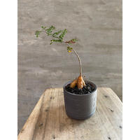 オペルクリカリア パキプス 実生株  63 塊根植物 コーデックス 発送着払い