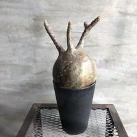 パキポディウム  グラキリス 415 塊根植物 コーデックス  マダガスカル現地株
