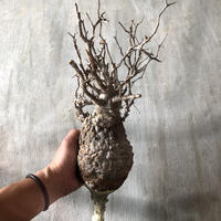 オペルクリカリア パキプス 抜き苗 8 多肉植物 塊根植物 コーデックス 現地株