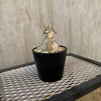 【限定】パキポディウム グラキリス 18番 マダガスカル現地球 塊根植物 コーデックス 多肉植物