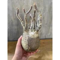 パキホディウム グラキリス  21番 塊根植物  コーデックス マダガスカル 現地球