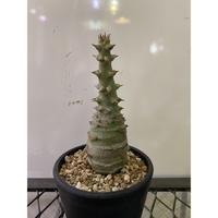 パキポディウム ウィンゾリー 台湾実生 塊根植物 コーデックス マダガスカル
