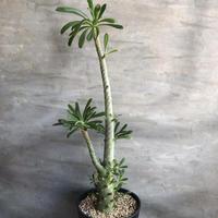 ドルステニア ギガス 5 塊根植物 コーデックス ソコトラ島固有種
