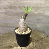 パキポディウム グラキリス  355 多肉植物 塊根植物 コーデックス