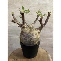 パキホディウム グラキリス 1 塊根植物 コーデックス マダガスカル現地球