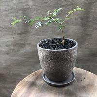 オペルクリカリア パキプス 実生株 34 塊根植物 コーデックス