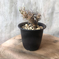 オトンナ ユーフォルビオイデス 12 黒鬼城 塊根植物 コーデックス 南アフリカ現地球