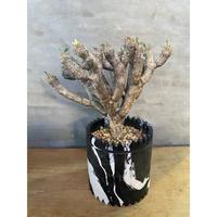 ユーフォルビア ギラウミニアナ 塊根植物 コーデックス 南アフリカ現地球