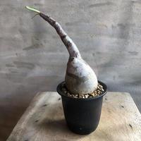パキポディウム グラキリス 493 多肉植物 塊根植物 コーデックス マダガスカル現地株