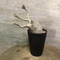 パキポディウム グラキリス 362  塊根植物 コーデックス