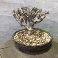 ユーフォルビア ギラウミニアナ 塊根植物 コーデックス 現地球