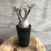パキポディウム グラキリス 429 塊根植物 コーデックス マダガスカル現地球