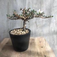サルコカウロン バンデリティアエ 1 多肉植物 塊根植物 コーデックス 現地球