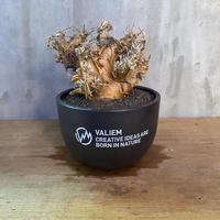 オトンナ ユーフォルビオイデス × valiem ボウル Mサイズ 塊根植物 コーデックス 現地球