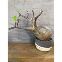 パキポディウム グラキリス 52番 塊根植物 コーデックスマダガスカル現地球