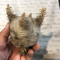 パキポディウム カクチペス  6 多肉植物 塊根植物 コーデックス 現地株