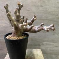 パキポディウム イノピナーツム 103 塊根植物 コーデックス マダガスカル現地球 送料着払い
