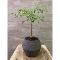 デロニクス プミラ suptnik アローポットSサイズ 塊根植物 コーデックス 発送着払い