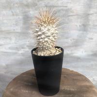 パキポディウム ナマクアナム 1 光堂 塊根植物 コーデックス 現地球