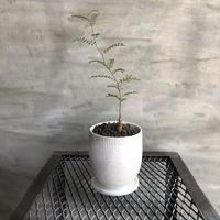 オペルクリカリア パキプス 実生株 42 塊根植物 コーデックス