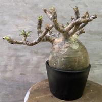 発送着払い パキポディウム グラキリス 抜き苗 6 塊根植物 コーデックス 現地球
