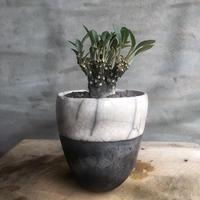 ドルステニア フォエチダ 綴化 DOMANI fes8 ホワイト塊根植物 コーデックス