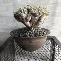 ユーフォルビア ギラウミニアナ  10 塊根植物 コーデックス