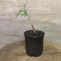 オペルクリカリア パキプス 実生株 23 塊根植物 コーデックス