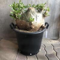 パキポディウム サンデルシー 白馬城 塊根植物 コーデックス 南アフリカ現地球