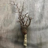 オペルクリカリア パキプス 4 多肉植物 塊根植物 コーデックス  マダガスカル 現地球