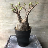 パキポディウム グラキリス 463  塊根植物 コーデックス マダガスカル現地球