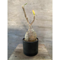 パキポディウム グラキリス 25番 塊根植物 コーデックス マダガスカル現地球