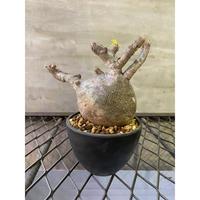 パキポディウム グラキリス 12 塊根植物 コーデックス マダガスカル現地球