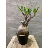 送料着払 パキポディウム グラキリス 250 未発根 塊根植物 コーデックス 現地球 発送着払い
