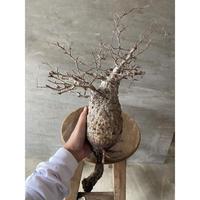 オペルクリカリア パキプス 抜き苗 塊根植物 コーデックス 現地球