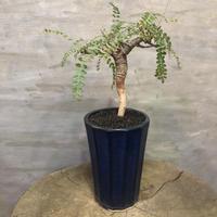 ボスウェリア ネグレクタ  潅木 塊根植物 コーデックス