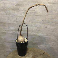 パキポディウム ウィンゾリー 25 塊根植物 コーデックス 現地球