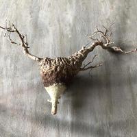 オペルクリカリア パキプス 抜き苗 6 多肉植物 塊根植物 コーデックス 現地株
